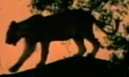 WAET Leopard