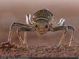 Acanthoproctus Diadematus