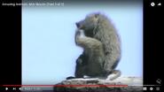 Amazing Baboon