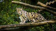 Clouded-Leopard-Images