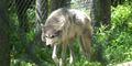 Columbus Zoo Wolf