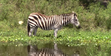 Lion Country Safari Zebra