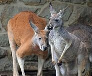 Male and Female Red Kangaroos