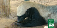 Naples Zoo Honey Badger