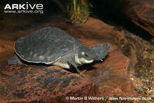 Pig-nosed-turtle-underwater.jpg