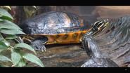 Tennessee Aquarium River Turtle