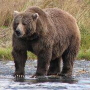Bear, Kodiak.jpg