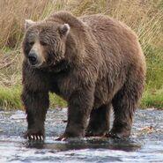Bear, Kodiak