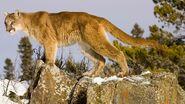 Cougar (Puma cocolodor)
