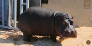 Dallas Zoo Hippo