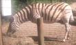 Dickerson Park Zoo Zebra