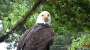 Memphis Zoo Eagle