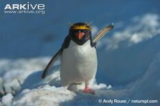 Penguin, Macaroni.jpg