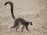 MADAGASCAN ANIMAL