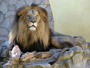South African Lion Male