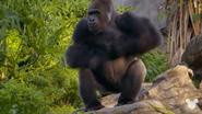 TMODAK Gorilla