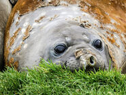 Why the Elephantseal Molts