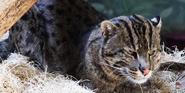 Birmingham Zoo Fishing Cat