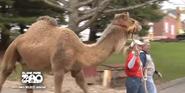 Blank Park Zoo Camel