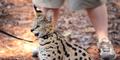 Central Florida Zoo Serval