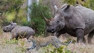 Cheetah Attacks from Rhinoceros