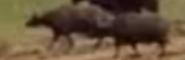 Evan Almighty Buffalos