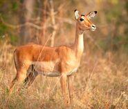 Impala-Female-Aepyceros-melampus
