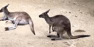 Los Angeles Zoo Kangarooe