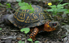 Male-eastern-box-turtles.jpg
