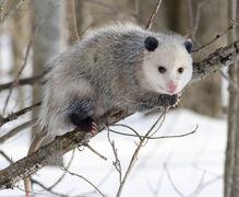Opossum, Virginia.jpg