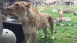 Oregon Zoo Lioness