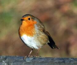 Robin, European.jpg