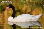 Swan, black-necked.jpg