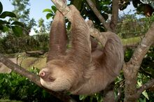 Two toed Sloth In Motion 600.jpg