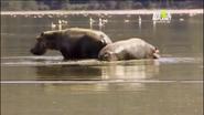 UTAUC Hippos