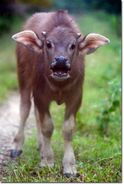 Wild water buffalo calf