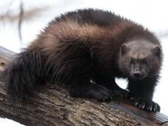 Wolverine-north-dakota