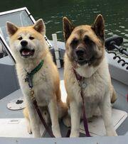 Japanese (left) & American (right) Akita