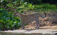 Brazilian Jaguar (V2)