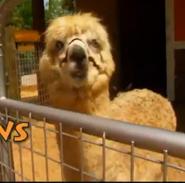 Brevard Zoo Alpaca