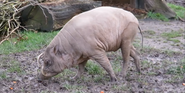 Chester Zoo Babirusa