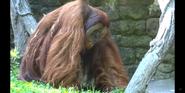 Cincinnati Zoo Orangutan