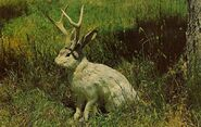 Jackalope (North American Mythology)