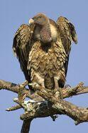Rüppell's Vulture.jpg
