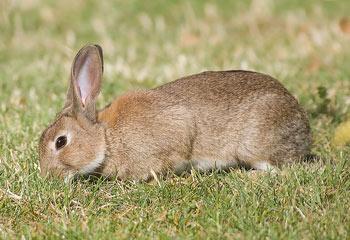 Robbie the European Rabbit