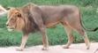 San Antonio Zoo Lion