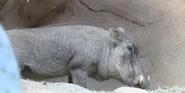San Diego Zoo Warthog