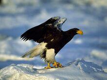 Steller-sea-eagle 724 600x450.jpg