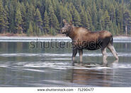 Stock-photo-female-cow-moose-in-water-with-green-trees-in-background-71290477