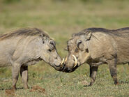 Warthog Boar and Sow